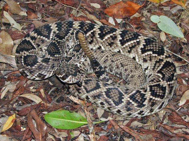 Eastern Diamondback Rattlesnake–At Risk | Francis Marion